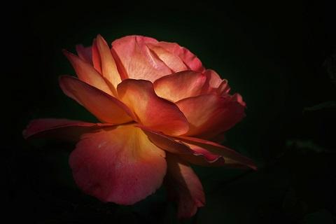 rosa pixabay