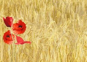 Transgenicos maiz prado cultivo pixabay